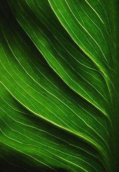 Veins of Calla Leaf