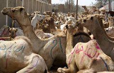 Birqash Camel Market, Cairo, Egypt