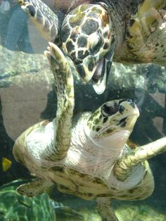 What do turtles eat? In this article we are going to focus on the types of food that both fresh-water and sea turtles eat in the wild as well as in captivity. Pet Turtle, Turtle Love, Underwater Creatures, Underwater Life, Save The Sea Turtles, Life Under The Sea, Life Aquatic, Reptiles And Amphibians, Sea World