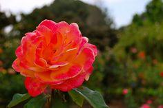 Strike It Rich Rose Shrub Roses, Shrubs, Flowers, Plants, Shrub, Plant, Royal Icing Flowers, Flower, Florals
