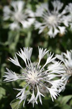 Centaurea montana 'Alba'