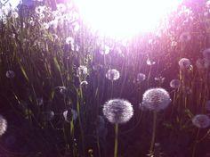 Dandelions in the evening sun. Kilo, Espoo. June 2013.