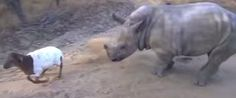 Orphaned Baby Rhino Seems To Think He's A Fuzzy Little Lamb This is my most favorite video ever
