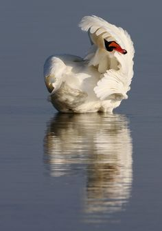 of a Mute Swan / Höckerschwan  (Cygnus olor) in evening sunlight near Kloster, Island of Hiddensee