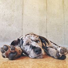 Great #Danes #Puppy #Dogs I NEED A GREAT DANE. One of these days...