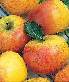Apple, Cox's Orange Pippin. I've always been intrigued by this variety (mostly because of Roald Dahl) and it's apparently pretty suited to the growing conditions here. Although it needs another nearby variety (ideally Golden Delicious) for pollination...wonder if I could find them in a two-variety graft.