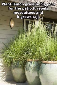 Plant lemon grass in big pots for the patio. It repels mosquitoes and it grows tall. Plant lemon grass in big pots for the patio. It repels mosquitoes and it grows tall. Diy Garden, Dream Garden, Lawn And Garden, Garden Plants, Home And Garden, Backyard Plants, Backyard Privacy, Backyard Ideas, Backyard Patio