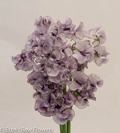 Japanese Sweet Pea bi-color white purple Lavender Flowers, Cut Flowers, Japanese Sweet, Wedding Flowers, Photo Galleries, Seasons, Flower Ideas, Purple, Gallery