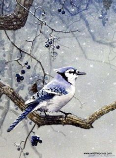 Scott Zoellick Blue Jay- Winter Blues