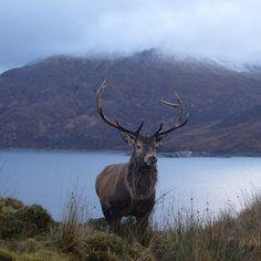 Red Deer, Highlands, Scotland, UK