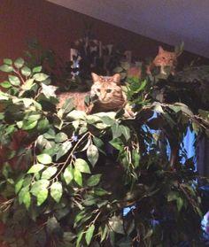 """Sasha"" and ""Kyle"" on their Fantasy Cat Tree.  #UltimateCatTree"
