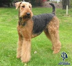 Complete information about Airedale Terrier Breed