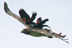 Wild Birds Unlimited: Bizarre bird behavior: Why small birds attack a big bird