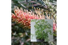 GREVILLEA COCONUT ICE Dense bushy medium size Grevillea. Flowers prolifically, producing white and pink flowers .Growing to a height of 1.5m. Full sun and good drainage required.
