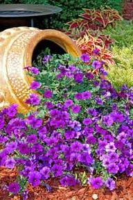 Suncatcher Sapphire petunia flowers pouring out of old pot...gorgeous!