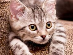 Clickertraining für Katzen: Spielerische Erziehung – Foto: Shutterstock / Forewer    www.einfachtierisch.de