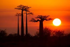 Resultado de imagen para baobab