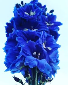 Flower Power! Blues just got so much prettier. #prettylook #designer #couture #spring #nature #flower #colors #beauty #goodness #inspiration #love #seasons #blue #purple #amateur #photography