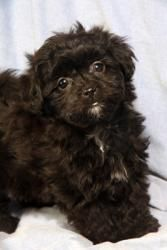 Lindsay Havanese is an adoptable Havanese Dog in Cabool, MO.   Lindsay Havanese      Havanese Baby  Female  Small Actual birthdate: 1/8/2013 Weight:  2 pounds   Adopti...  ...