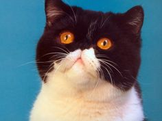 Hd Wallpaper, Wallpapers, Exotic Cats, Persian Cats, Exotic Shorthair, Cat 2, Wallpaper Free Download, Blog, Animals