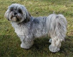 Sweet Lhasa Apso.  Doesn't shed, ours didn't bark to just to bark.