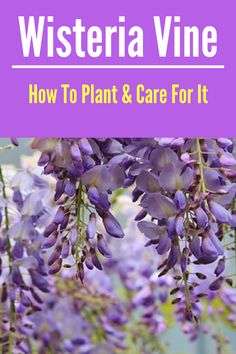 Flower Gardening Design Learn how to grow wisteria in your yard with these simple tips! - Wisteria is a breathtaking and decorative vine that grows rather vigorously. Learn how to plant and care for it so you can enjoy it in your own garden! Beautiful Flowers Garden, Beautiful Gardens, Vine Design, Garden Design, Patio Design, Gardening Supplies, Gardening Tips, Wisteria How To Grow, Climbing Vines