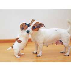 Jack Russell pup and mom by @jackrussellstories