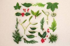 Natural winter abstract nature study with holly berries, ivy, mistletoe, cedar, laurel, yew and juniper fir leaf sprigs on mottled cream background. Winter Leaves, Juniper Berry, Holly Berries, Abstract Nature, Nature Study, Mistletoe, Ivy, Flora, Cream