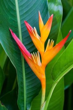 Heliconia Flower Stock Photo Picture And Royalty Free Image Image 20702208 # Tropical Garden, Tropical Plants, Tropical Flowers, Tiny Flowers, Exotic Flowers, Beautiful Flowers, Lilies Flowers, Purple Flowers, Sun Loving Plants
