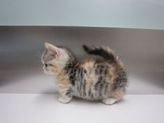 its a munchkin kitten!! i must have one