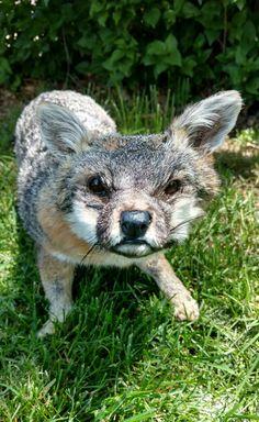 Gray Fox Soft Mount Taxidermy by LoveBizarreOddities on Etsy