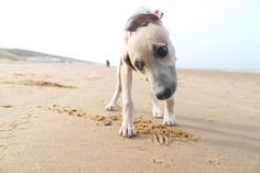 My little whippet pup aka beachbabe Goldie
