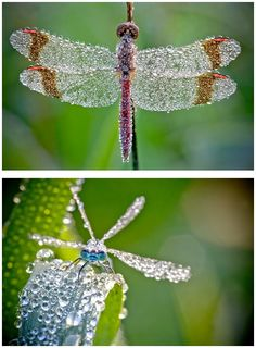 Photographer David Chambon captures these amazing jewel-like photos of insects covered in morning dew.. S)