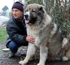 Georgian breeder with Caucasian Shepherd Dog (kavkasiuri nagazi) Russian Dog Breeds, Russian Dogs, Really Big Dogs, Huge Dogs, Guard Dog Breeds, Caucasian Shepherd Dog, Schaefer, Mans Best Friend, Dogs And Puppies
