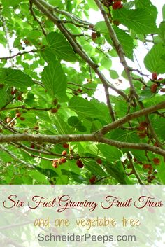 Fast growing fruit trees mean that you get fruit in just a year or two instead of four or five. Check out these seven trees and start eating homegrown fruit:
