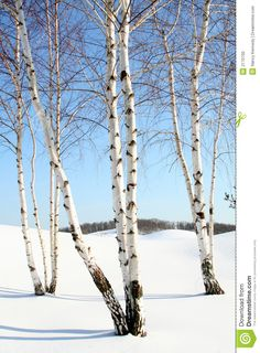 Several stands of birch trees in the snow.