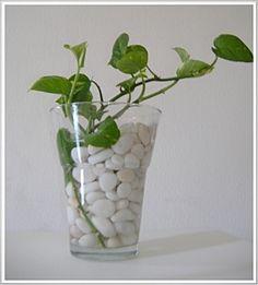 Money Plant/ Golden pothos/ Devil's ivy (Scindapsus aures … | Flickr