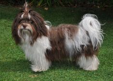 MystykalSky's Havanese Source by hamrhd368 The post Colors / Colours in Havanese – Havaneser Farben – info chocolate brown colour color – schokolade Farbe Havaneser appeared first on Sellers Canines.