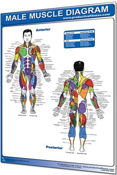 Muscle Diagram Poster: Visual guide for male and female muscle anatomy for strength training.