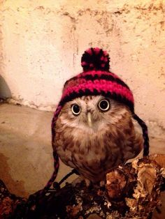 Owl in a hat Pretty Animals, Cute Funny Animals, Cute Baby Animals, Animals And Pets, Owl Bird, Pet Birds, Owl Pictures, Baby Owls, Cute Baby Owl