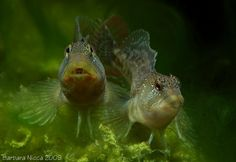 "Salaria fluviatilis (Freshwater Blenny) - ~5-6"" freshwater Blenny from the Mediterranean"