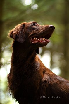 Described by all who meet him as cheerful, optimistic and good-humored, the Flat-Coat excels as a family companion. He requires regular vigorous exercise, however, due to his working heritage. Dog sports such as obedience, agility and hunt tests provide both mental and physical exercise. Among Sporting breeds, the Flat-Coat is easy to maintain, needing only occasional brushing and bathing.