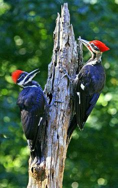 Pileated Woodpeckers.....so many vibrant colors. I'm lucky enough to see a pair of these 2 or 3 times a year!