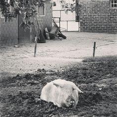 Das chillende Schwein