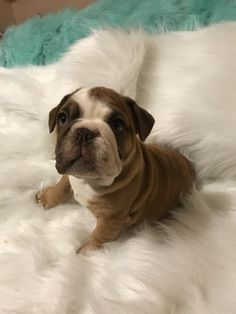 Bulldog puppy for sale in EAST HAVEN, CT. ADN-72152 on PuppyFinder.com Gender: Male. Age: 13 Weeks Old
