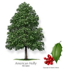 American Holly...beautiful tree.