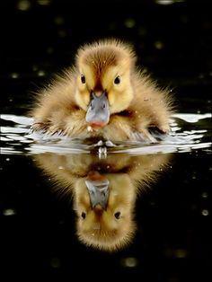 so sweet....swimming baby duckling with reflection on water