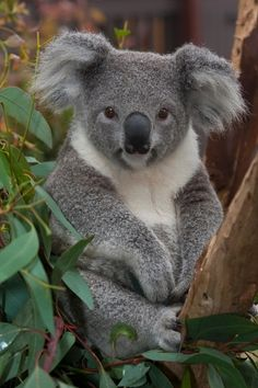 009 Koala Bear - Arboreal Herbivorous Marsupial Native To AU Poster Animals And Pets, Baby Animals, Funny Animals, Cute Animals, Bizarre Animals, Beautiful Creatures, Animals Beautiful, Fantasy Animal, The Wombats