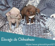 Chihuahuas puppies born at the Grisous'Tiny World breeding. In the Hauts de Franc … – Casual Clothes Chihuahua For Sale, Chihuahua Puppies, Dogs And Puppies, Short Haired Chihuahua, Tiny World, French Bulldog, Pitbulls, France, Cats