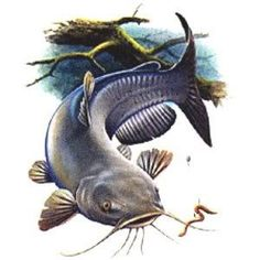 catfish clipart | catfish graphics and comments | Clipart ...